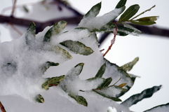 Branch with green leaves covered with white snow. On a winter day Royalty Free Stock Image