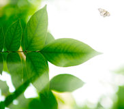The branch with green leaves and flying butterfly  in  sunlight Royalty Free Stock Photo