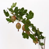 A branch with green leaves and gooseberries. A branch with green leaves and some gooseberries or ribes grossularia against white background Royalty Free Stock Photo