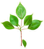 Branch with green leaves Stock Photos