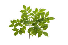 Branch with green leaves Stock Images
