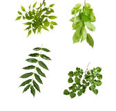 Branch with green leaves isolated on white background Stock Photos