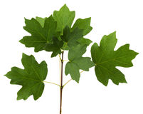 Branch with green leaves of maple Royalty Free Stock Photo