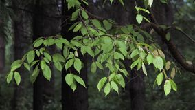 Branch with green leaves in the summer forest. Branch with green leaves in the summer forest sways in the wind stock footage