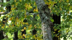 Branch with green leaves in the summer forest. Branch with green leaves in the summer forest sways in the wind stock video