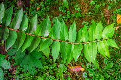 Branch with green leaves, symmetrically located on both sides. Branch with green leaves, symmetrically located both sides stock photo