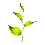 Branch with green leaves tea Royalty Free Stock Photo