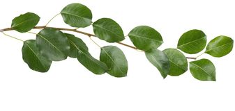 Branch with green leaves. Royalty Free Stock Photography