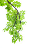Branch of green leaves on white background. Royalty Free Stock Photos