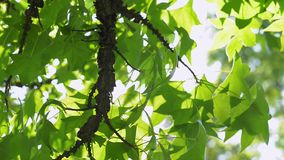 Branch with green leaves. In the wind stock video footage