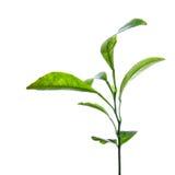 Branch of green lemon leaves Stock Images
