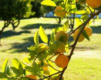 A branch of a green lemon tree. A green leafy tree full of yellow lemons on a warm summer day Stock Photo