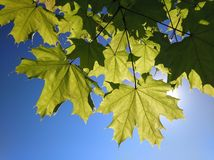 Maple leaves. Branch with green maple leaves against the blue sky stock photography