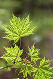 Branch with green maple leaves. Stock Photos