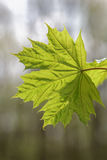 Branch with green maple leaves. Royalty Free Stock Photography