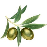 Branch with green olives. Watercolor painting on white background Stock Image