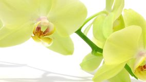 Branch of green orchid on white stock video