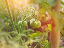 Organic green tomato planting in garden royalty free stock photography