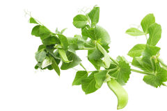 Branch of green pea Royalty Free Stock Images
