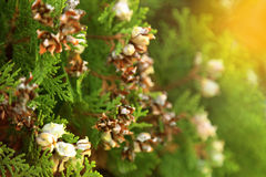 Branch of green pine tree with brown seed, selective focus in warm light toned Royalty Free Stock Image