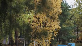 Branch of green pine. Trees with yellow leaf in autumn day in park. Calmly wave. stock video footage