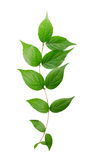 Branch of a green plant Royalty Free Stock Photos