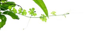 Branch of green plant isolated on white. Background Royalty Free Stock Images