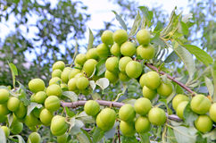 Branch with green plums Royalty Free Stock Image