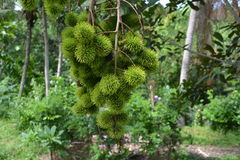 Branch of green rambutans Stock Images