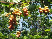 Branch of green schizandra Stock Photo
