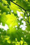 Branch of green spring maple Stock Photography