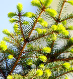 Branch of green spruce on a blurred background. Pine Spring. Royalty Free Stock Photography