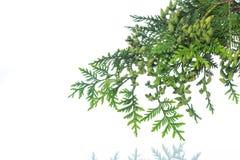 Branch of green thai. A branch of green thai on a white background Royalty Free Stock Photos