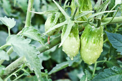 Branch of green tomatoes Stock Images