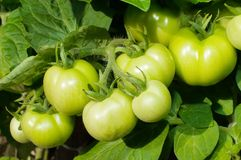 Branch of green tomatoes Stock Photo