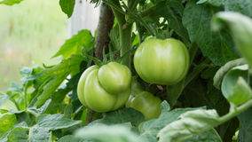 Branch of green tomatoes growing in the garden Stock Photography