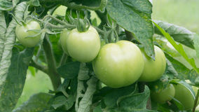 Branch of green tomatoes growing in the garden Stock Image