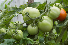 Branch of green tomatoes growing in the garden Stock Photos