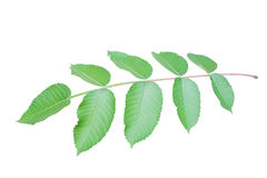 Branch with green toothed leaves isolated on white Stock Photography