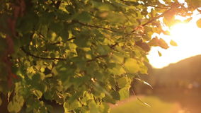 Branch of green tree leaves close up on the golden sunset.  stock footage