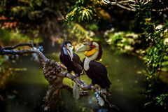 On a branch in green tropical forest over the pond sit two Toucan Royalty Free Stock Photo