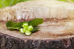 Branch of green unripe hazelnuts on the tree stump. stock photo