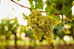 Branch of green wine grapes Stock Photography