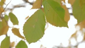 Green and yellow leaves, close-up. Branch with green and yellow leaves on windy day, close-up stock video footage