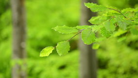 Branch green young leaves Beech moving. stock video footage