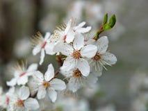 Greengage tree white blossoms close-up stock photo
