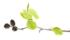 Branch of grey alder with mature cones and green leaves isolated on white background Royalty Free Stock Image