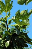 Branch growing figs Stock Image