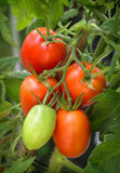 Branch growing tomatoes plum varieties Royalty Free Stock Images