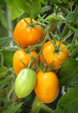 Branch growing tomatoes plum varieties Royalty Free Stock Images